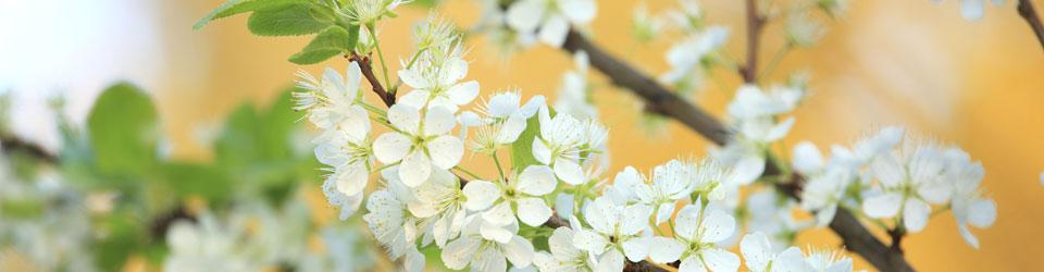 blossoms_change